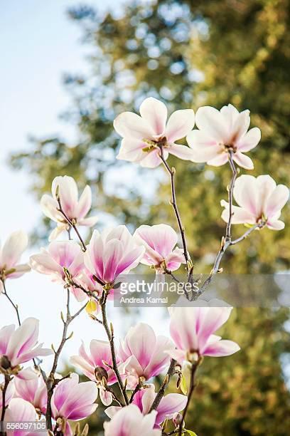 Magnolia tree on a sunny day