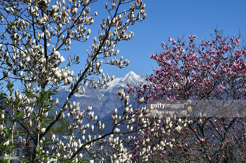 Magnolias and camellias