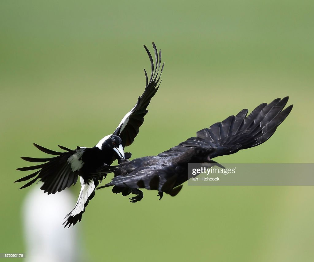 A magpie attacks a crow in flight during day 3 of the four day tour match between Cricket Australia XI and England at Tony Ireland Stadium on November 17, 2017 in Townsville, Australia. (Photo by Ian Hitchcock/Getty Images) Images)