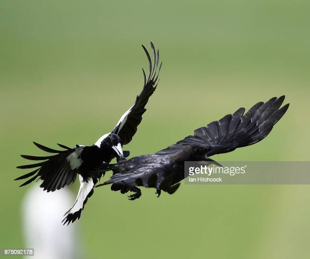 A magpie attacks a crow in flight during day 3 of the four day tour match between Cricket Australia XI and England at Tony Ireland Stadium on...