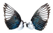 Magpie bird wings pair, outside - taxidermy, isolated on white background