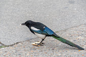 magpie eating bread close up
