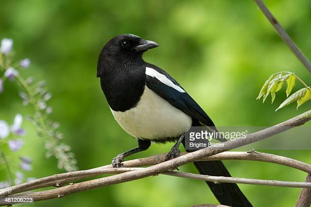 Magpie / Elster