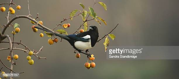 A Magpie feeding on a fruit tree.