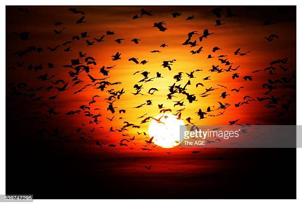 Magpie geese take flight at sunset above Kakadu's lush wetlands 23 September 2005 The AGE Picture by SIMON O'DWYER