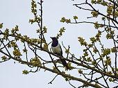 Die Elster (Pica pica) ist eine Vogelart aus der Familie der Rabenvögel.