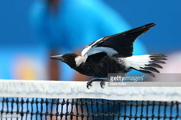 A magpie lands on the net during the second round doubles match between David Marrero of Spain Fernando Verdasco of Spain and Alex Bolt of Australia...