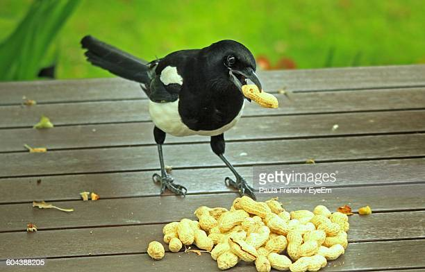 Magpie Pecking Groundnut
