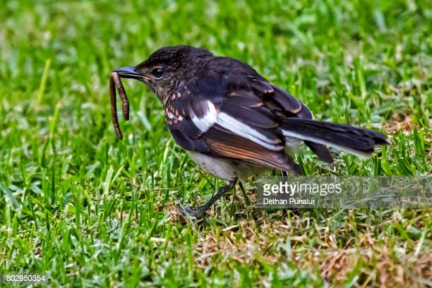 Magpie-robin with worm