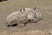 Magpies vs rhino