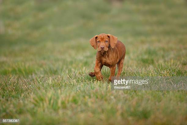 Magyar Vizsla, Hungarian Short-Haired Pointing Dog, puppy, running on meadow