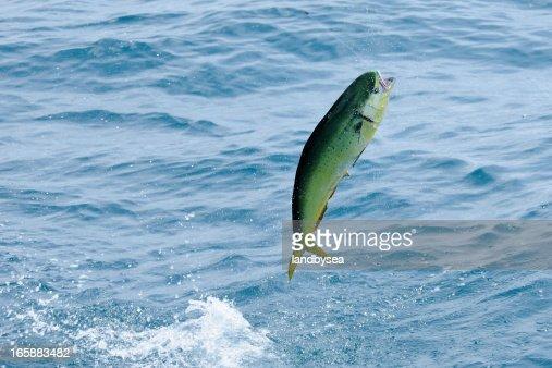 mahi-mahi {Coryphaena hippurus) leaping.