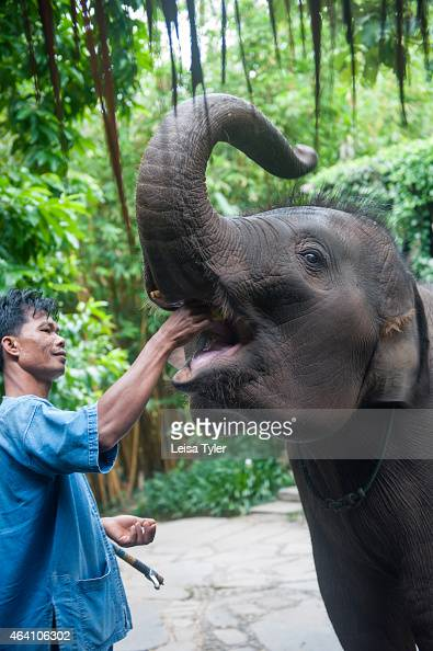A mahout feeds an elephant at the Four Seasons Tented Camp in Thailand's Golden Triangle Set on several hectares of land that looks over Burma to the...