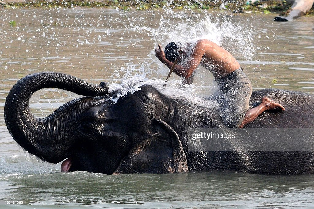 A mahout receives a dousing from his elephant ahead of the tourist season when they provide rides to visitors at the Pobitora Wildlife Sanctuary, about 50 kms from Guwahati, on March 5, 2013. India is home to around 25,000 Asian elephants but their numbers are dwindling mainly due to poaching and the destruction of their habitats by human populations. AFP PHOTO/BIJU BORO