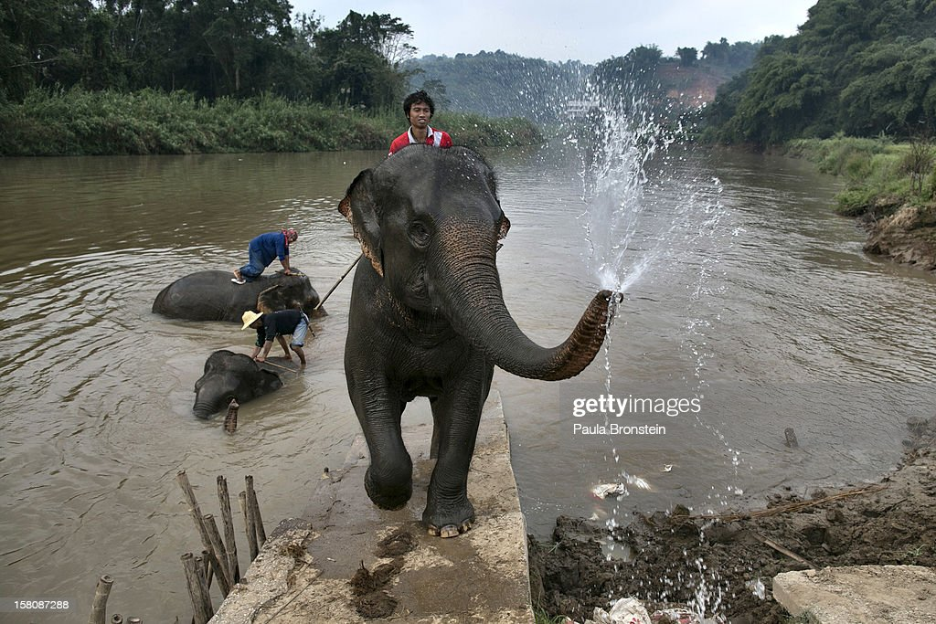 A mahout rides his elephant after bathing at an elephant camp at the Anantara Golden Triangle resort on December 10, 2012 in Golden Triangle, northern Thailand. Black Ivory Coffee, started by Canadian coffee expert Blake Dinkin, is made from Thai arabica hand picked beans. The coffee is created from a process whereby coffee beans are naturally refined by a Thai elephant. It takes about 15-30 hours for the elephant to digest the beans, and later they are plucked from their dung and washed and roasted. Approximately 10,000 beans are picked to produce 1kg of roasted coffee. At USD 1,100 per kilogram or USD 500 per pound, the cost per serving of the elephant coffee equals USD 50, making the exotic new brew the world's priciest. It takes 33 kilograms of raw coffee cherries to produce 1 kilo of Black Ivory Coffee.