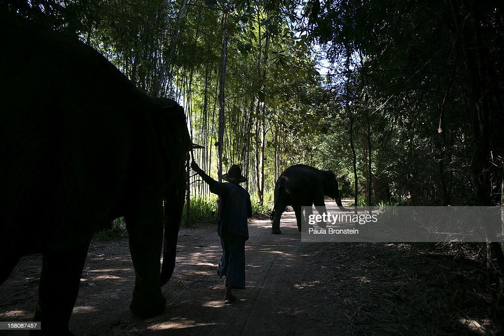 A mahout walks his elephant back into the jungle at an elephant camp at the Anantara Golden Triangle resort on December 10, 2012 in Golden Triangle, northern Thailand. Black Ivory Coffee, started by Canadian coffee expert Blake Dinkin, is made from Thai arabica hand picked beans. The coffee is created from a process whereby coffee beans are naturally refined by a Thai elephant. It takes about 15-30 hours for the elephant to digest the beans, and later they are plucked from their dung and washed and roasted. Approximately 10,000 beans are picked to produce 1kg of roasted coffee. At USD 1,100 per kilogram or USD 500 per pound, the cost per serving of the elephant coffee equals USD 50, making the exotic new brew the world's priciest. It takes 33 kilograms of raw coffee cherries to produce 1 kilo of Black Ivory Coffee.