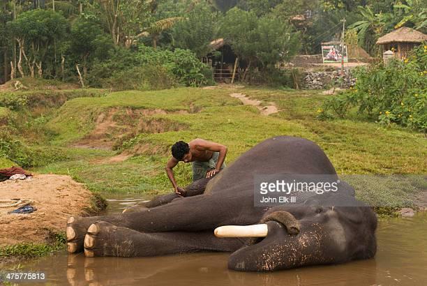 Mahout washing elephant