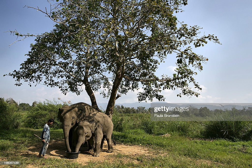 A mahout watches as elephants are fed a coffee bean mixture with fruit and rice at an elephant camp at the Anantara Golden Triangle resort on December 10, 2012 in Golden Triangle, northern Thailand. Black Ivory Coffee, started by Canadian coffee expert Blake Dinkin, is made from Thai arabica hand picked beans. The coffee is created from a process whereby coffee beans are naturally refined by a Thai elephant. It takes about 15-30 hours for the elephant to digest the beans, and later they are plucked from their dung and washed and roasted. Approximately 10,000 beans are picked to produce 1kg of roasted coffee. At USD 1,100 per kilogram or USD 500 per pound, the cost per serving of the elephant coffee equals USD 50, making the exotic new brew the world's priciest. It takes 33 kilograms of raw coffee cherries to produce 1 kilo of Black Ivory Coffee.