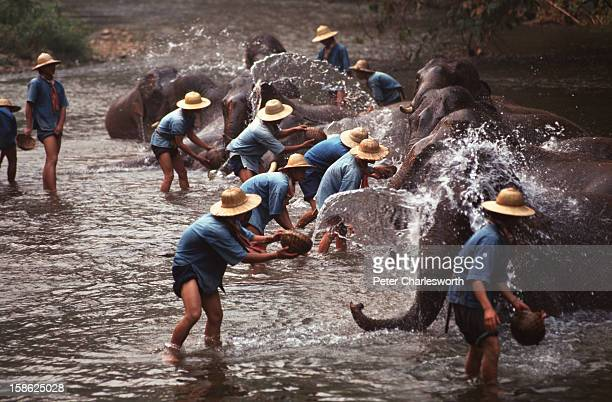 Mahouts give their charges an early morning bath in the river at the Elephant Training Center at Chiang Dao These pachyderms would once have worked...