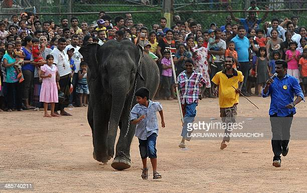 Mahouts run with an juvenile elephant as part of traditional festival games to mark the Sinhala and Tamil New Year in Homagama near Colombo on April...