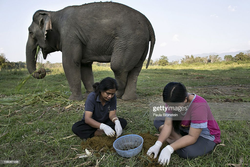 Mahout's wives Niang (L) and Lynda (R) pick out coffee beans from elephant dung at an elephant camp at the Anantara Golden Triangle resort on December 9, 2012 in Golden Triangle, northern Thailand. Black Ivory Coffee, started by Canadian coffee expert Blake Dinkin, is made from Thai arabica hand picked beans. The coffee is created from a process whereby coffee beans are naturally refined by a Thai elephant. It takes about 15-30 hours for the elephant to digest the beans, and later they are plucked from their dung and washed and roasted. Approximately 10,000 beans are picked to produce 1kg of roasted coffee. At USD 1,100 per kilogram or USD 500 per pound, the cost per serving of the elephant coffee equals USD 50, making the exotic new brew the world's priciest. It takes 33 kilograms of raw coffee cherries to produce 1 kilo of Black Ivory Coffee.