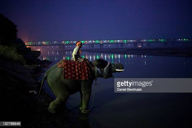 A mahut sits on his elephant as it drinks water from the Ganges river during the the Sonepur Mela on November 14 2011 in Sonepur near Patna India The...