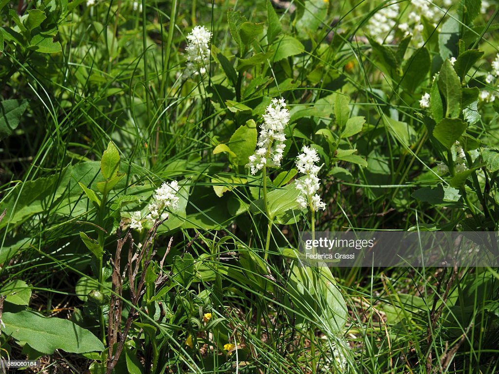 Maianthemum Bifolium In The Lepontine Alps