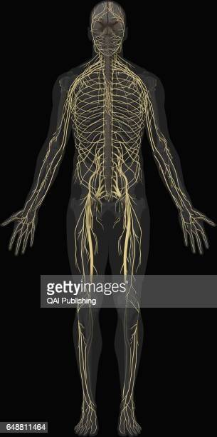 Main nerves anterior view Bundle of nerve cells that carry sensory and motor signals between the central nervous system and the rest of the body