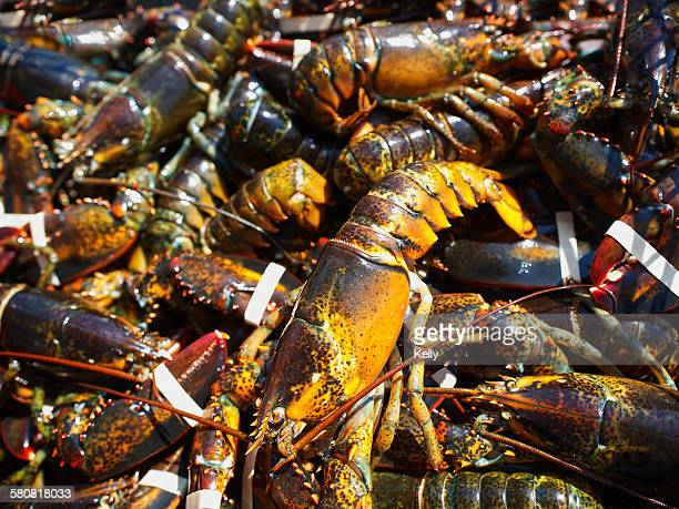 USA, Maine, Close up of fresh lobsters