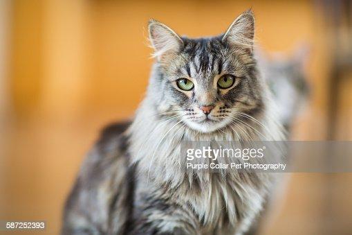 Maine Coon Cat Close-up Indoors