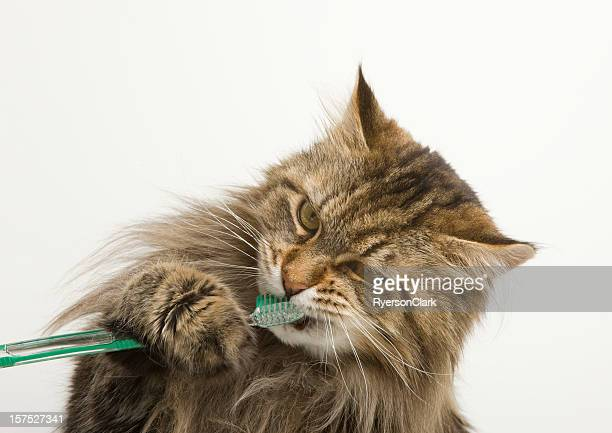 Maine-Coon-Katze Zahnpflege mit Zahnbürste