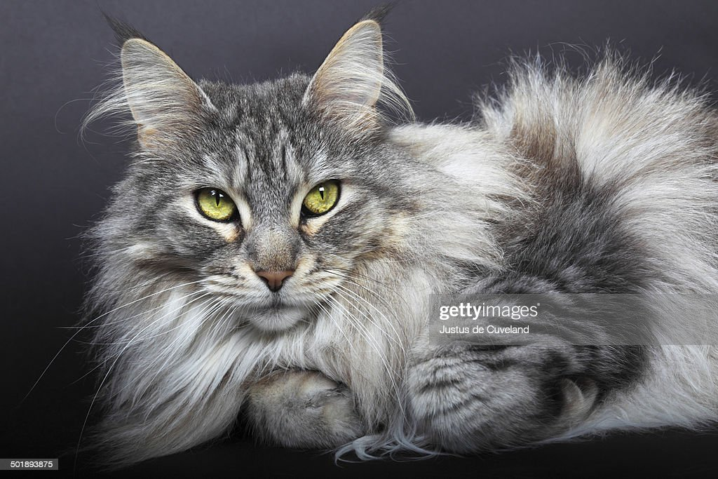 Maine Coon cat, Germany