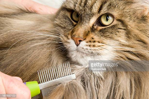 Maine Coon Cat Grooming or combed and Brushed