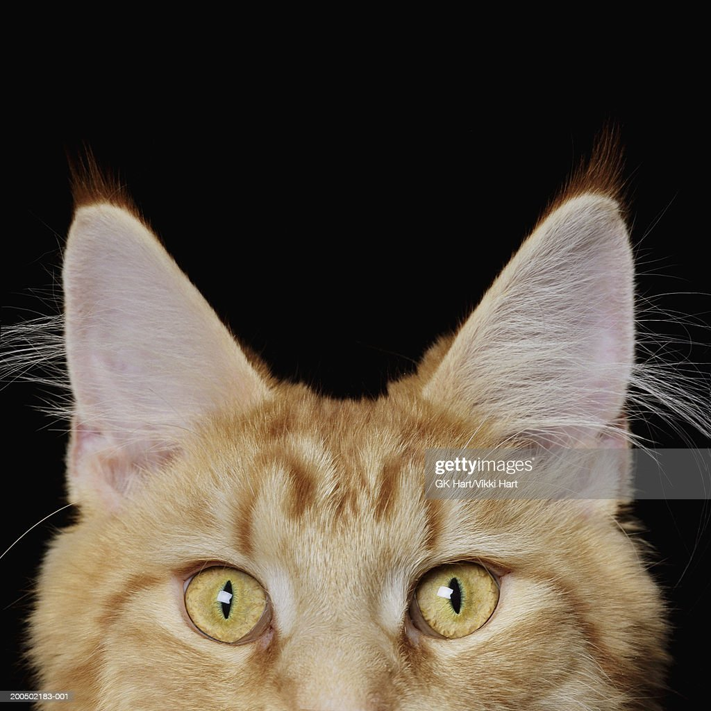 Maine Coon Cat, high section, close-up : Stock Photo