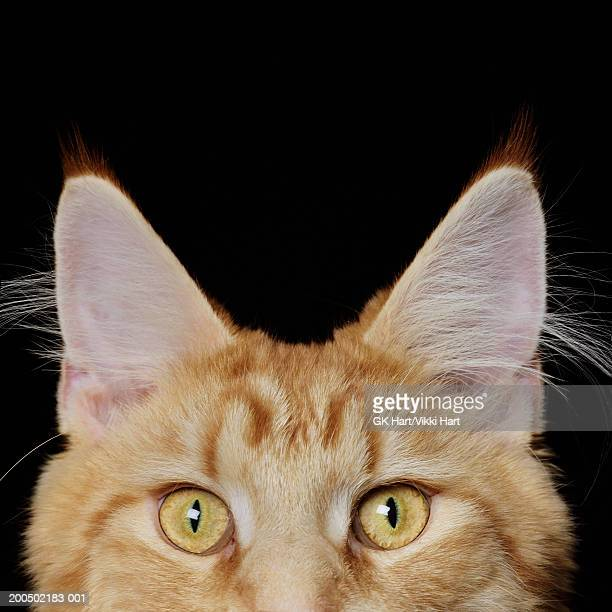 Maine Coon Cat, high section, close-up