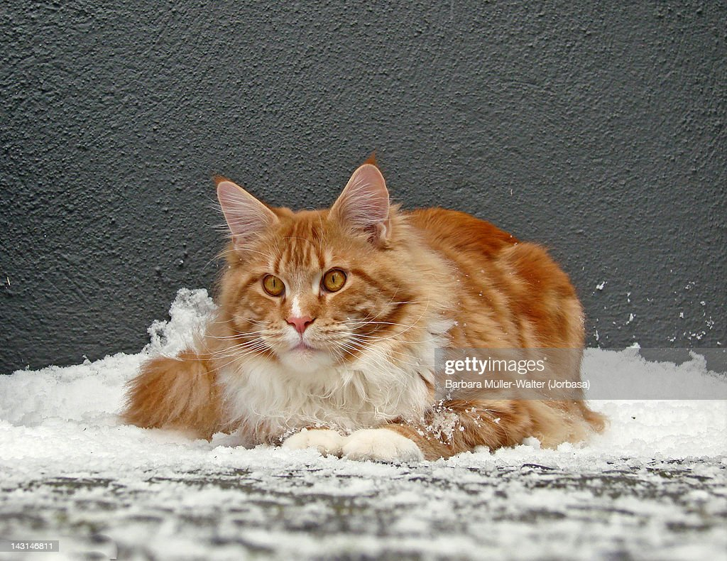Maine coon cat in snow : Stock Photo