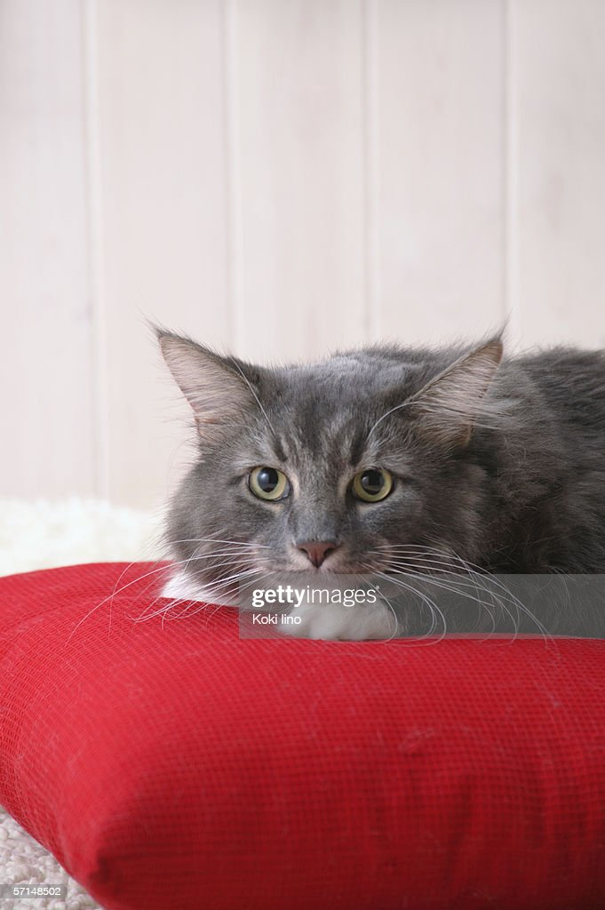 Maine coon cat looking at camera : Stock Photo