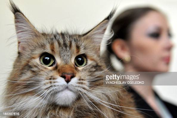 A Maine Coon cat looks on during a cat exhibition in Bishkek on October 20 2013 Cat lovers from Kyrgyzstan Kazakhstan and Uzbekistan took part in the...