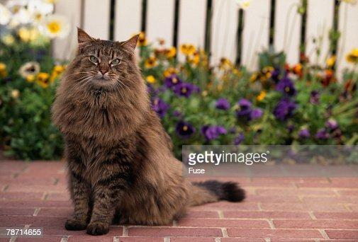 Maine Coon Cat on Sidewalk