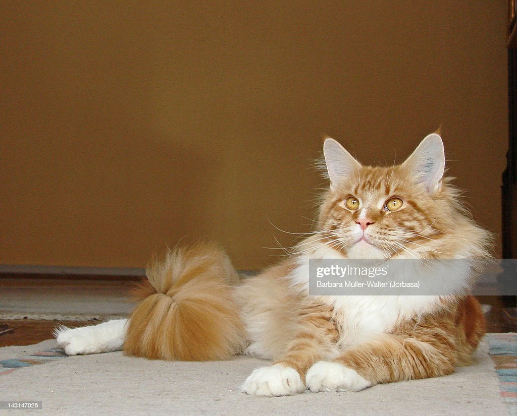Maine coon cat : Stock Photo