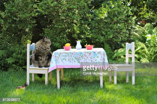 Maine Coon Cat Sitting at a Table