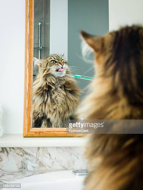 Maine Coon Cat Teeth Brushing.
