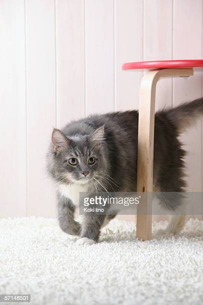 Maine coon cat walking
