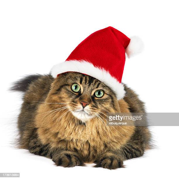 Maine coon cat wearing santa clause hat