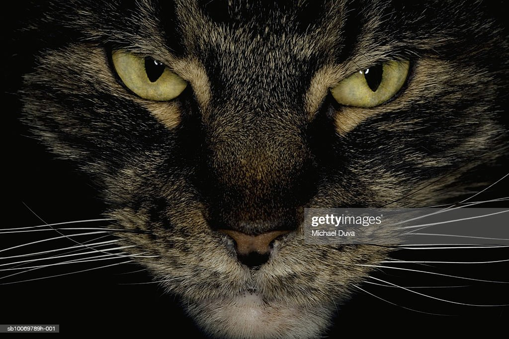 Maine Coon, close-up of head : Stock Photo