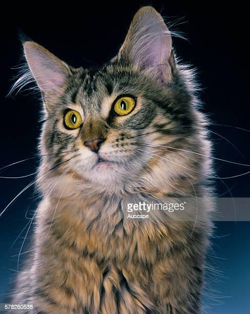 Maine Coon Felis catus portrait studio photograph