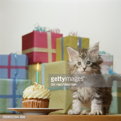 Maine Coon kitten by presents and birthday cupcake : Stock Photo