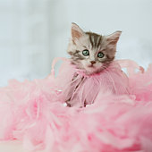 Maine Coon Kitten dressed in pink feathers