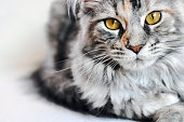 Beautiful silver tabby Maine Coon kitten girl with large golden eyes on white background.