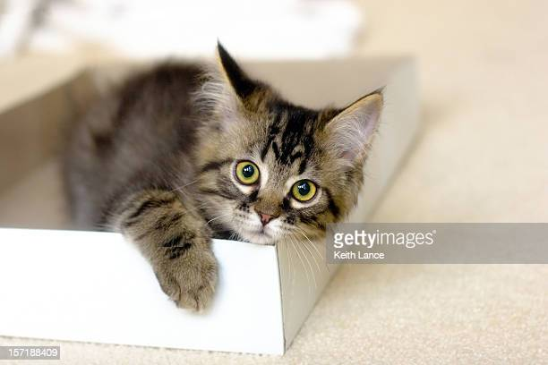 Maine Coon Kitten in a Box